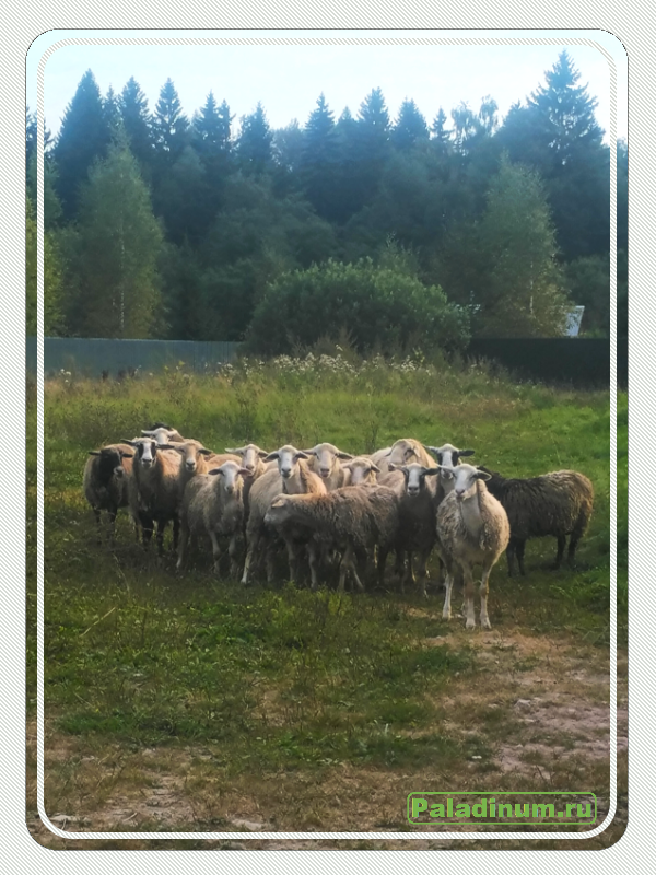 Стихи; поэзия; сатирическая поэзия; про деревню; про бизнес; поэт; Воронов Олег; Paladin Alik; Бизнес в деревне; фото животных; жизнь в деревне; гусь; индюк; корова; собака; горная Пиренейская; баран; отара; деревня; сельская жизнь;