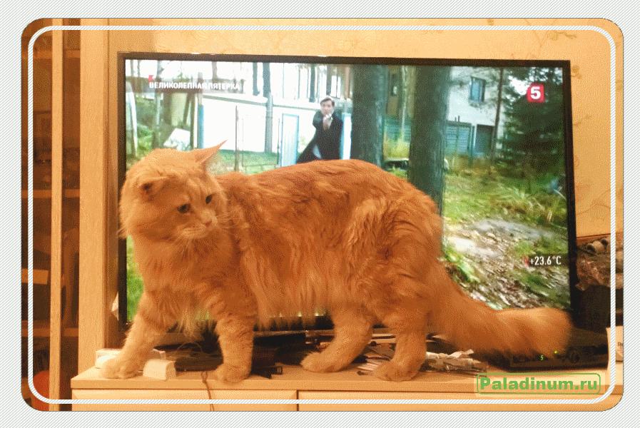 кот;мэйн-кун;maine coon;котопес;стихи;поэзия;поэт;про кота; записки домашнего кота;первое прости