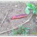 caterpillar, гусеница, чудовище, подмосковье, монст, смешное видео, веселое видео, видео, 18+, шутка, бабочка, butterfly, юмор сисадминов